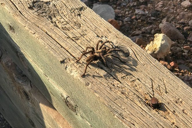 See a Tarantula in a wild - Crazy Bucket List Ideas