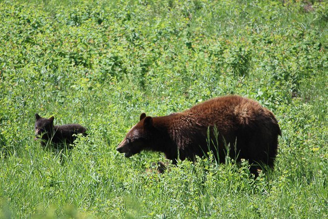 See a bear in the wild - life bucket list idea