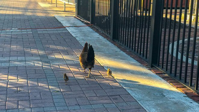 Things to do in Key West Florida With Kids - Spot a chicken or rooster in the wild