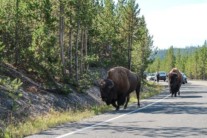 Yellowstone Itinerary 2 Days See Bison