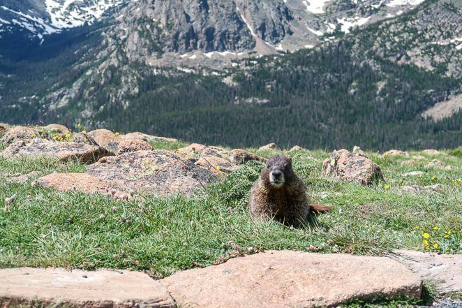 Marmots in Colorado