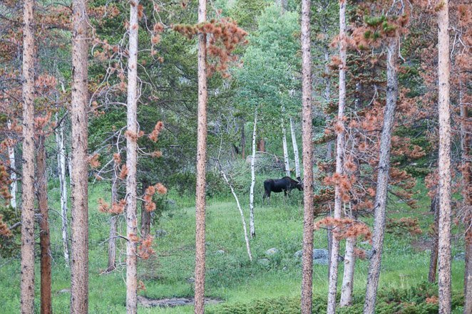 See a Moose In Rocky Mountain National Park