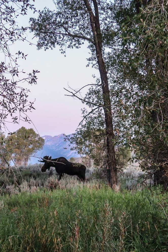 Moose and Wildlife in Grand Tetons