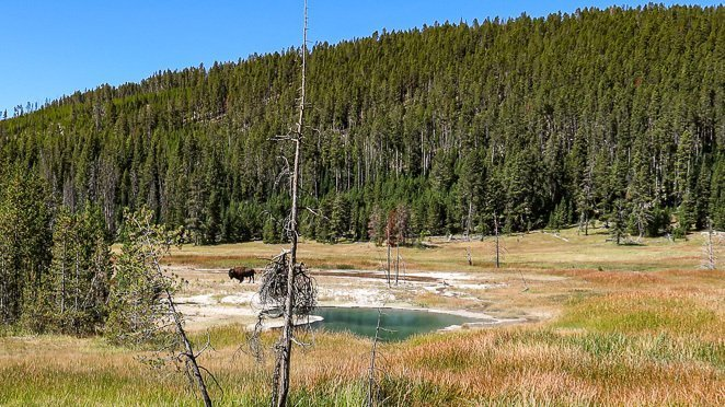 See wild Animals - Buffalo in Yellowstone National Park