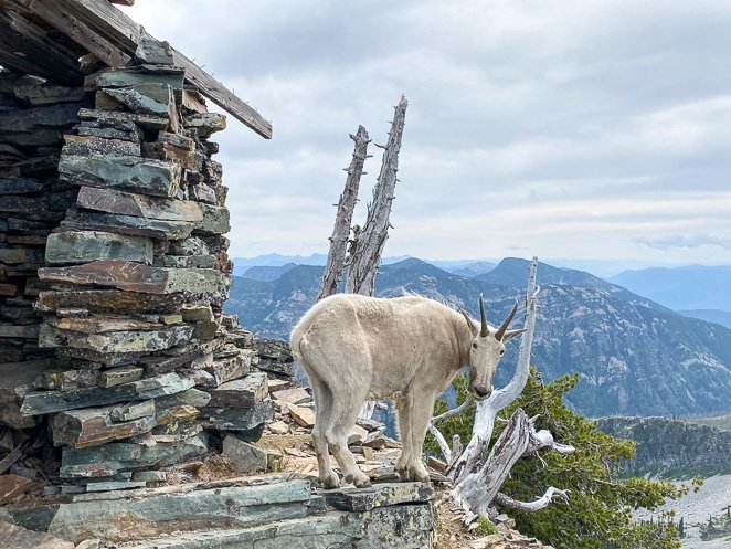 Mountain Goat on Scotchmen's Peak Idaho