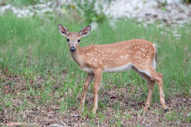 National Key Deer Big Pin Key